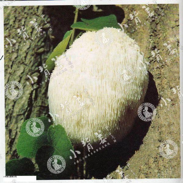小龙8国际平台入口名菌猴头菇