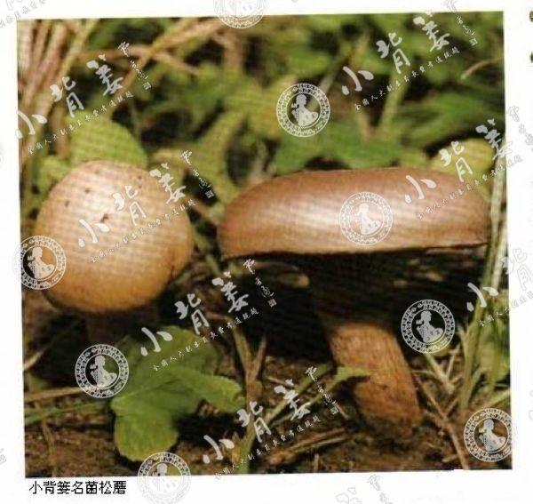 小龙8国际平台入口名菌松蘑