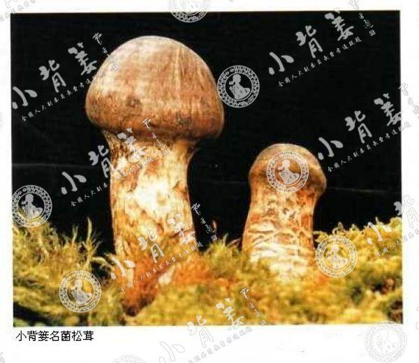 小龙8国际平台入口名菌松茸
